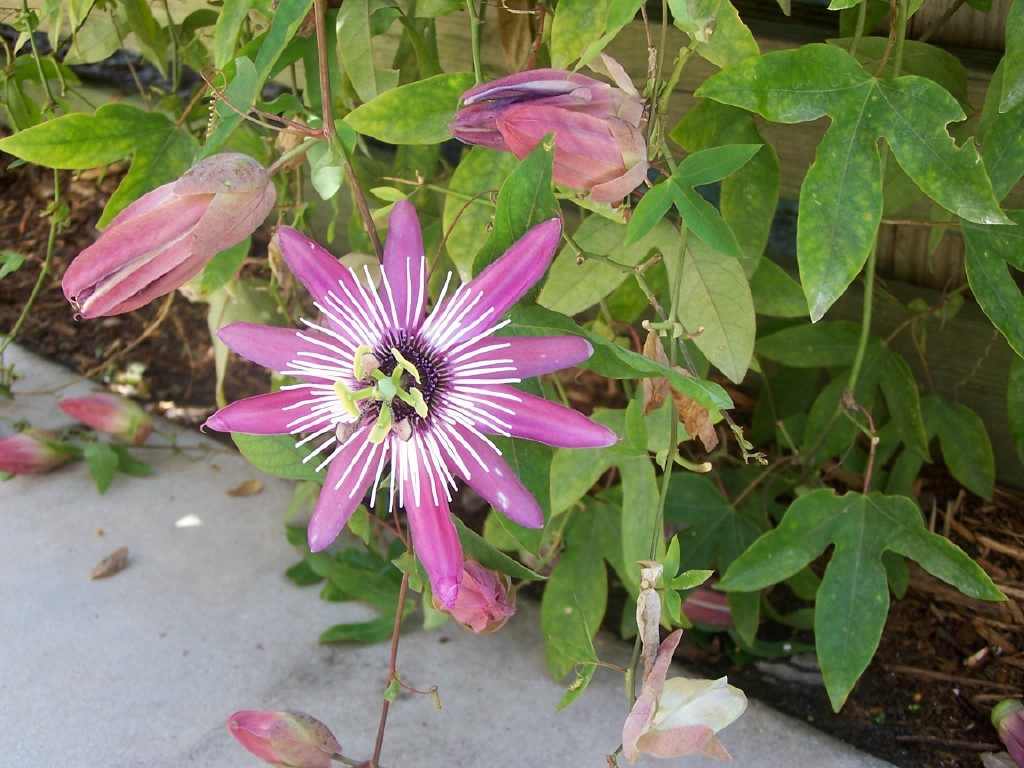 passion flowers by Carlos